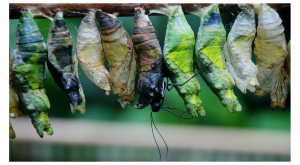 Crisálida de gusano de seda