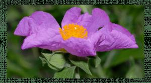 Jara rosa