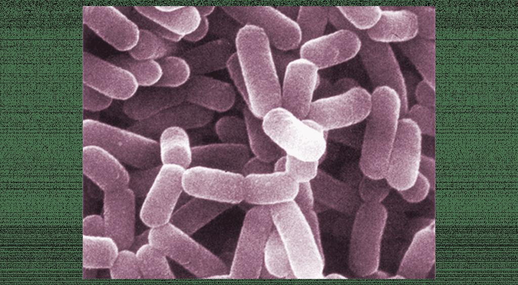 Lactobacillus casei