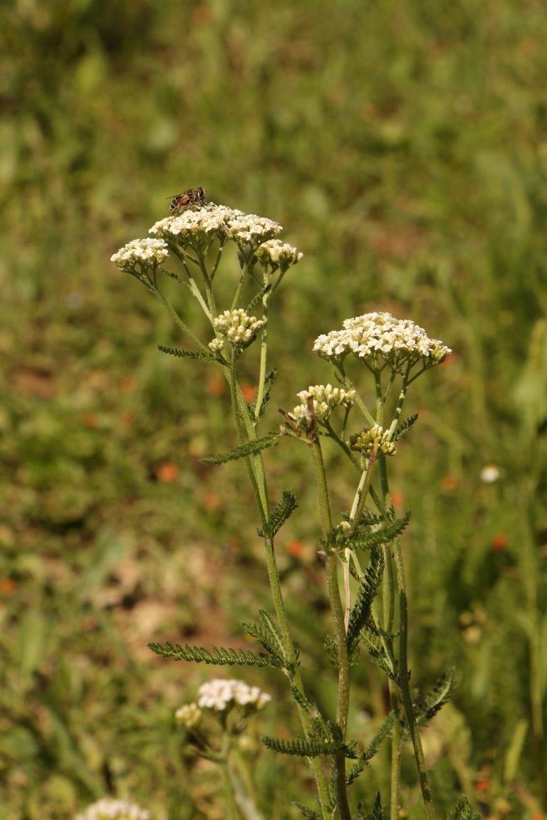 Flores blancas de Josenea