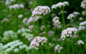 Flor de Valeriana