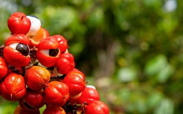 Cafeína en la naturaleza